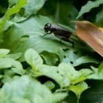 夏の朝に鳴く虫の正体はツヅレサセ。でもコオロギじゃねえかバカ野郎。